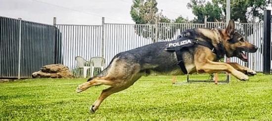 Cane Poliziotto