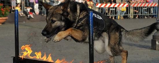 Come Si Diventa Cane Poliziotto